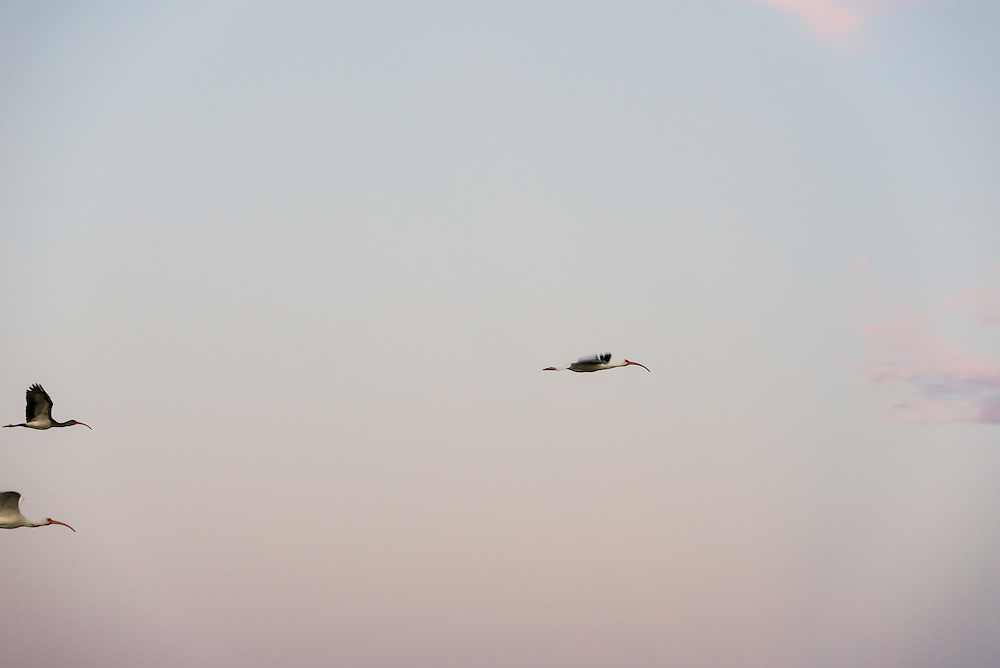 Several ibis fly in the evening light of the Florida Everglades