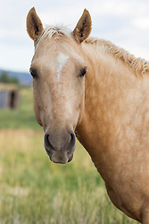 beautiful horse on a ranch looking at camera