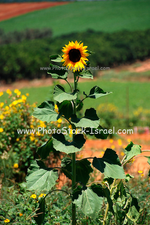 Blooming sunflower plant June 2008