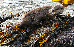 This young otter has no problems with his fishign quota as he is spotted  fishing for his lunch in oban bay.  Those folks out for a walk to gananvan beach oban stop for a moment to watch the youngster who has not fear of humans or dogs picture kevin mcglynn