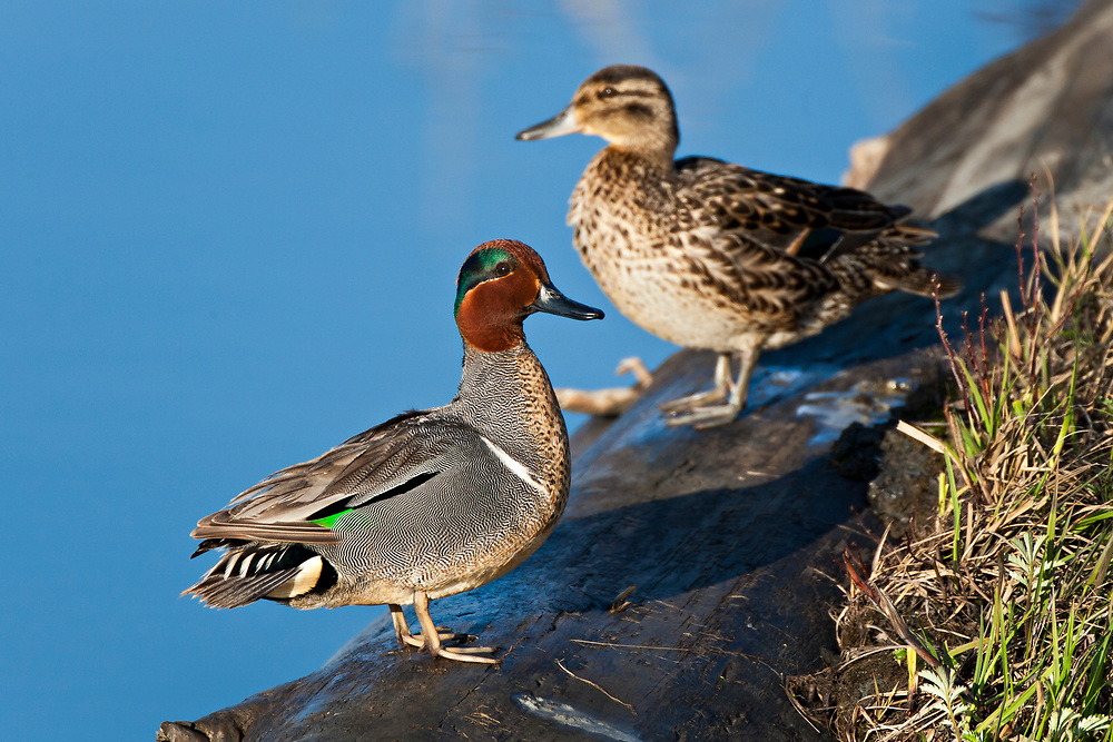 Alaska.  Adult pair of Green-winged Teal (Anas crecca) standing on a log at the edge of Potter Marsh in May.