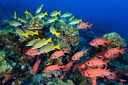 Großschuppen Soldatenfisch (Myripristis berndti) und Blaugoldene Schnapper (Lutjanus viridis), Mehrere Fische im Korallenriff, Insel Cocos, Costa Rica, Pazifik, Pazifischer Ozean, / Blotcheye soldierfish (Myripristis berndti) and Blue and gold snappers (Lutjanus viridis), Fishes in Coralreef, Cocos Island, Costa Rica, Pacific Ocean