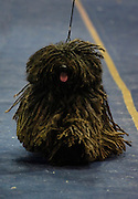 The Puli is a small-medium breed of Hungarian herding and livestock guarding dog known for its long, corded coat. The tight curls of the coat appear similar to dreadlocks.
