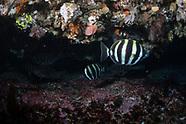 Tilodon sexfasciatus (Moonlighter)