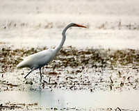 Great Egret (Ardea alba). Fort De Soto Park. Pinellas County, Florida. Image taken with a Nikon D2xs camera and 3.5 inch Questar Field Scope.