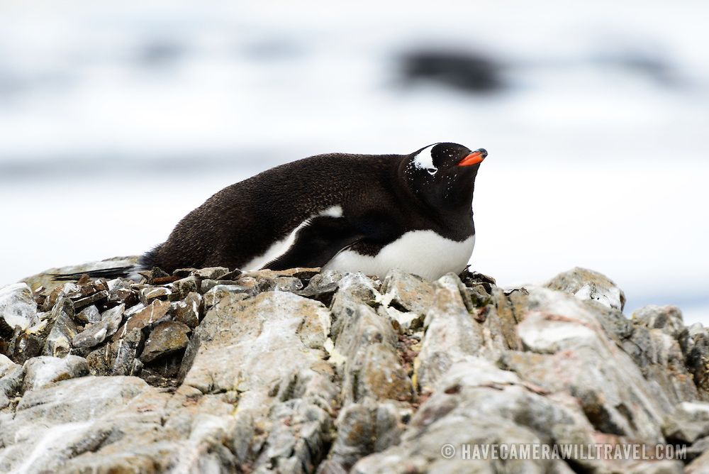 A Gentoo penguin lies on its nest of stones at Galindez Island in Antarctica.