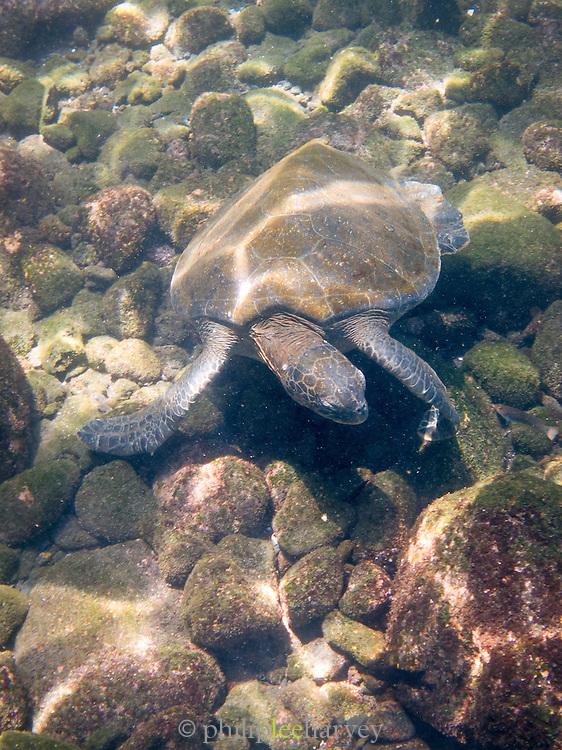 Pacific Green Sea Turtle, Galapagos, Ecuador, South America