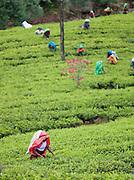 Tea pickers in a plantation field in the hills of Nuwara Eliya, Sri Lanka