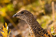 Ptarmigan (L. mutus), Mount Rainier National Park, Washington