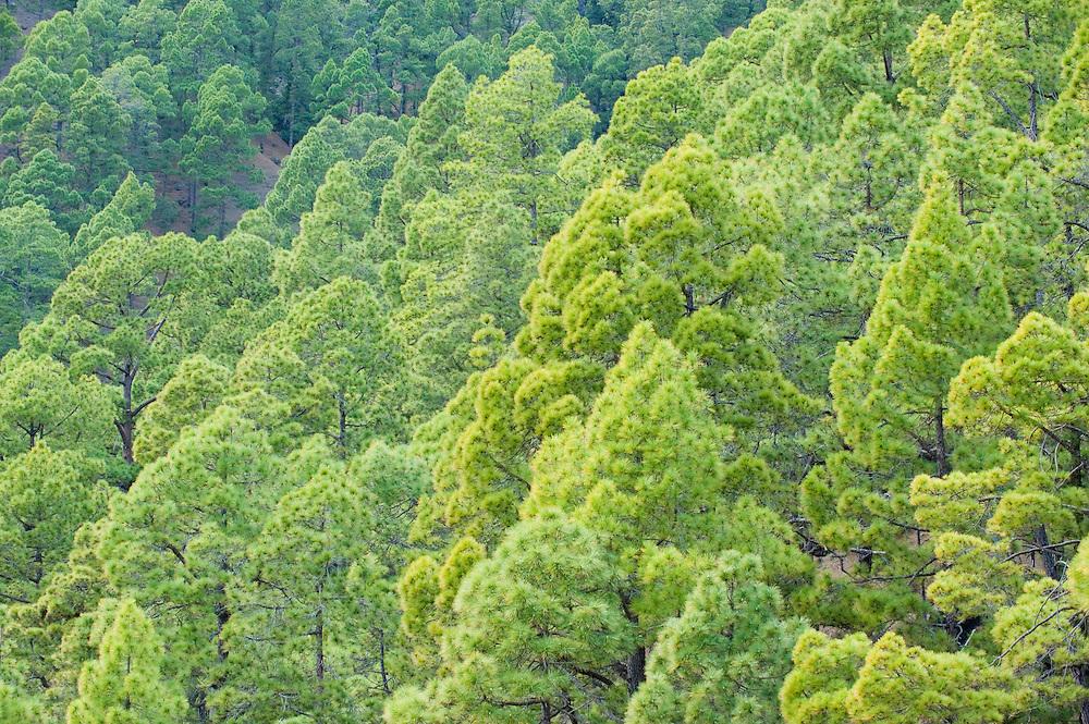 Canary pine (Pinus canariensis), Caldera de Taburiente National Park, La Palma Island, Canary Islands, Spain.