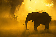 Elephant walks to river in Samburu Reserve, Kenya