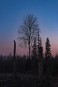 Ural owl (Strix uralensis) standing on the snag of birch tree (Betula sp.) in forest clearing in mixed forest landscape, Northern Vidzeme, Latvia Ⓒ Davis Ulands | davisulands.com