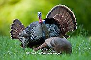 00845-07216 Eastern Wild Turkeys (Meleagris gallopavo) gobblers in field, Holmes Co., MS