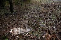 Carska Droga w Biebrzanskim Parku Narodowym, 01.01.2018. N/z zabita potracona przez samochod sarna z otwartymi zlamaniami nog sarna ( Capreolus ) fot Michal Kosc / AGENCJA WSCHOD
