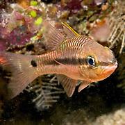 Iridescent Cardinalfish inhabit reefs. Picture taken Komodo, Indonesia.