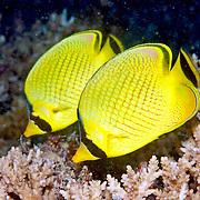 Latticed Butterflyfish inhabit reefs. Picture taken Solomon Islands.