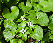 Bunchberry (Cornus canadensis, or Dwarf Dogwood, or Dwarf Cornel, or Crackerberry)  flowers blooms amid heart-shaped leaves of False Lily-of-the-Valley (Maianthemum, in the Lily Family) on the verdant Lake 22 trail, near Verlot on the Mountain Loop Highway, in Snohomish County, Washington, USA.