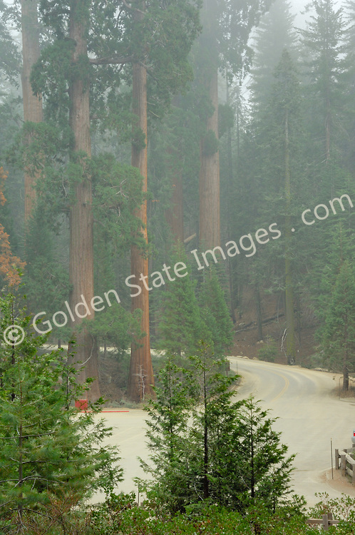 Grant Grove Sequoias in clearing morning fog.<br />   <br /> Species: Sequoiadendron giganteum