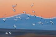 Snow geese (Chen hyperborea) in flight at dusk