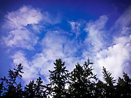 Douglas fir trees (Pseudotsuga menziesii), sky, and clouds