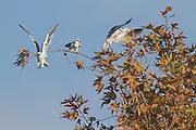 Black-winged Kite (Elanus caeruleus) 3 on treetop, hulla valley, israel