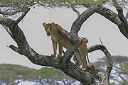 Lioness in acacia tree, Serengeti National Park
