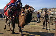 Selcuk, Turkey, 21/01/01..The traditional sport of camel wrestling is popular throughout western Turkey in the winter months; the largest event is the annual festival held in Selcuk on the third weekend of January. A camel enters the arena watched by a Turkish soldier.
