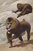 The mandrill (Mandrillus sphinx here as Maimon mormon) is a primate of the Old World monkey (Cercopithecidae) family. from the book '  Animal portraiture ' by Richard Lydekker, and illustrated by Wilhelm Kuhnert, Published in London by Frederick Warne & Co. in 1912