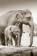 Pinnawela Elephant Orphanage, Sri Lanka