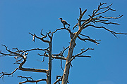 Double-crested cormorant (Phalacrocorax auritus) in dead tree at Key River<br />