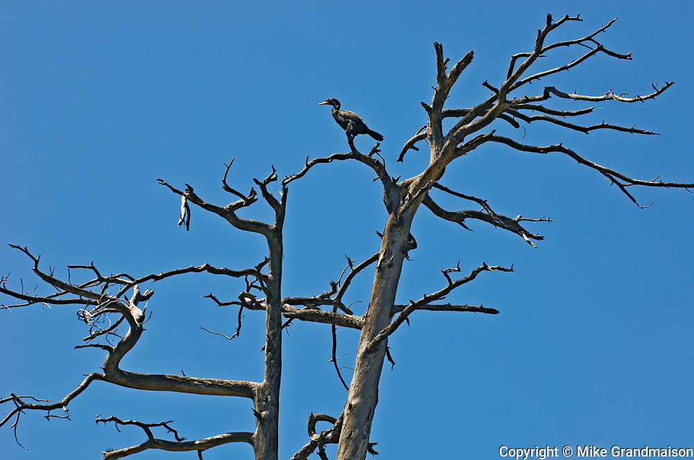 Double-crested cormorant (Phalacrocorax auritus) in dead tree at Key River<br />Key River<br />Ontario<br />Canada