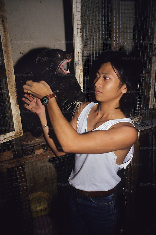 WOLVERINE, MALAYSIA. Sarawak, Borneo, South East Asia. Captive wild wolverine caged for sale.Tropical rainforest and one of the world's richest, oldest eco-systems, flora and fauna, under threat from development, logging and deforestation. Home to indigenous Dayak native tribal peoples, farming by slash and burn cultivation, fishing and hunting wild boar. Home to the Penan, traditional nomadic hunter-gatherers, of whom only one thousand survive, eating roots, and hunting wild animals with blowpipes. Animists, Christians, they still practice traditional medicine from herbs and plants. Native people have mounted protests and blockades against logging concessions, many have been arrested and imprisoned.