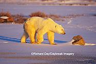 01874-07904 Polar Bear (Ursus maritimus) walking across frozen pond at sunset  Churchill  MB