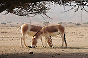 Israel, Aravah, The Yotvata Hai-Bar Nature Reserve breeding and reacclimation centre Breeding herd of Wild Asian Ass (Equus hemionus onager or Onager)