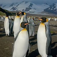 King Penguins stand in a huge rookery at Salisbury Plain, South Georgia, Antarctica.