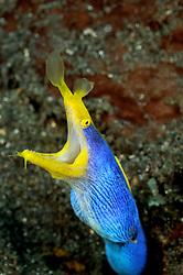 Rhinomuraena quaesita, Blaue Geistermuraene, Maennchen, male Ribbon moray, blue Ribbon eel, Tulamben, Bali, Indonesien, Indopazifik, Indonesia, Asien, Indo-Pacific Ocean, Asia