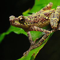 """Unseen since 1924, the Borneo Rainbow Toad (Ansonia latidisca) was previously listed as one of the """"world's top 10 most wanted frogs"""" by Conservation International in their Global Search for Lost Frogs in 2010. It was rediscovered in Sarawak in 2011. Sarawak, Malaysia (Borneo)."""