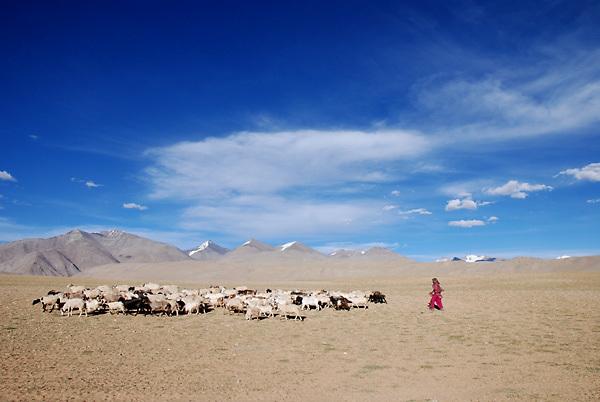 Tso Moriri, Ladakh - 20 Luglio 2009. Un pastore nomade fa pascolare il suo gregge su un altopiano a 4500 metri di altezza.<br /> <br /> Tso Moriri, Ladakh - July 20, 2009: A sheperd with his flock on a plateau at 15000ft asl.