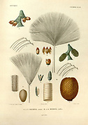details of Palm tree reproduction organs, fruit, flowers and leafs From the book 'Voyage dans l'Amérique Méridionale' [Journey to South America: (Brazil, the eastern republic of Uruguay, the Argentine Republic, Patagonia, the republic of Chile, the republic of Bolivia, the republic of Peru), executed during the years 1826 - 1833] By: Orbigny, Alcide Dessalines d', 1802-1857; Montagne, Jean François Camille, 1784-1866; Martius, Karl Friedrich Philipp von, 1794-1868 Published Paris :Chez Pitois-Levrault et c.e ... ;1835-1847