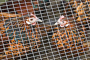 Chickens penned inside a hen house, Cotswolds, United Kingdom.  If Avian Flu (Bird Flu) spreads from Europe all poultry may be forced indoors.