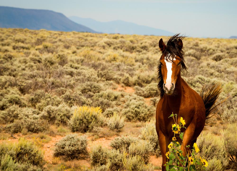 Wild Horse of the San Luis Valley, Colorado