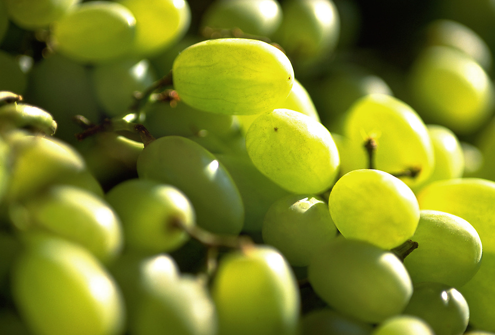 Close up selective focus photograph of Thompson Seedless Grapes bunches in the sunlight