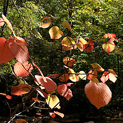 The Hobblebush often changes to its fall colors in late summer