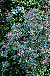 Rosa rubrifolia syn. R.glauca