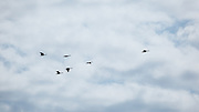 USA, Oregon, Hood River, formation of Canada Geese (Branta canadensis).