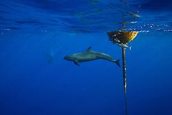 false killer whale, Pseudorca crassidens, hunting for a lone yellowfin Tuna, Thunnus albacares, which is taking refuge under the FAD (Fish Aggregation Device), note large scar on tuna, off Kohala Coast, Big Island, Hawaii, USA, Pacific Ocean
