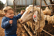 Toddler with a sheep at a petting corner in a children's zoo