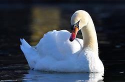 THEMENBILD - der Höckerschwan (Cygnus olor) ist eine Vogelart, die innerhalb der Entenvögel zur Gattung der Schwäne und zur Unterfamilie der Gänse gehört. Als halbdomestizierter Vogel ist er heute in weiten Bereichen Mitteleuropas beheimatet. // The Mute Swan is a species belonging to the genus within the ducks and swans to the subfamily of geese. As halbdomestizierter bird he is today located in large areas of Central Europe, pictured in Stuttgart, Germany on 2015/03/08. EXPA Pictures © 2015, PhotoCredit: EXPA/ Eibner-Pressefoto/ Weber<br /> <br /> *****ATTENTION - OUT of GER*****