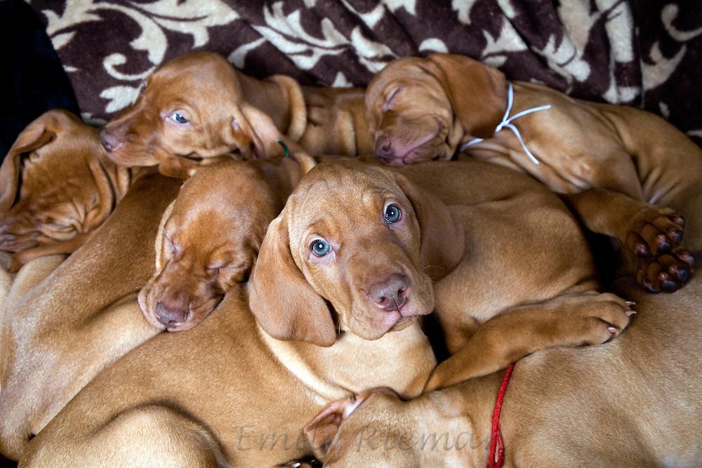 Visla puppies sleeping in a pile