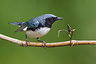Black-throated Blue Warbler - Setophaga caerulescens - Adult male